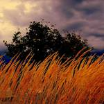 """Golden Grasses Blowing in the Stormy Wind"" by RickTodaro"