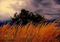 Golden Grasses Blowing in the Stormy Wind