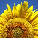 """sunflower"" by babi"
