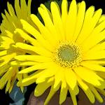 """Yellow Gerbera"" by MHP-Photography"
