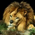 Lazy Lion2