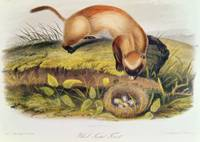 Black-footed Ferret by John James Audubon