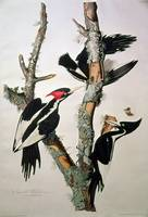 Ivory-billed Woodpecker by John James Audubon