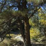 """Autumn Pine"" by LanceIFitzsimmons"