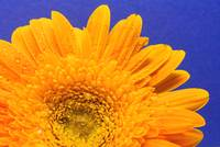 Gerbera Daisy Against Blue