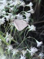 Wildflowers and Cabbage Moth