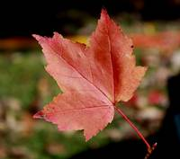 Just a Red Leaf