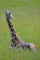 Tall In the Grass, a Giraffe