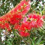 """Australian Bottlebrush"" by kristie-elizabeth"