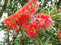 Australian Bottlebrush