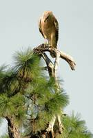 Hawk on Pine Treetop