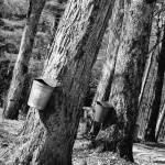 """Sap Buckets"" by chrisromano"