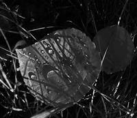Autumn's Tears  0108 Black and White Edition