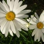 """Daisies"" by jodipflepsen"