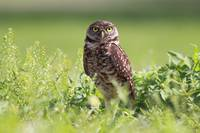 Brian Piccolo Burrowing Owl III