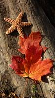 Starfish and Maple Leaf