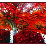 """Red Tree in Autumn"" by jbjoani2"