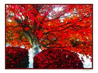 Red Tree in Autumn