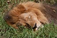 The Lion Sleeps today.