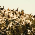 """""""Cormorants"""" by kenart"""