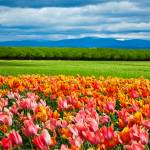 """Peach Tulip Field"" by NewTake"