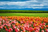 Peach Tulip Field by Marcus Panek
