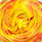 """Tequila Sunrise Rose"" by feagans_photography"