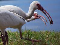ibis gimme that