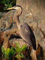 Heron in Mangroves