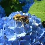 """Bee on Hydranga"" by nancielaing"