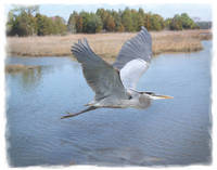 Great Blue Heron in Flight 2