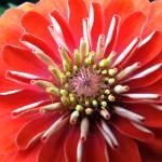 """Blooming Zinia"" by DeSantisDuo"