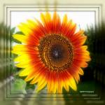 """Mirrowed Sunflower"" by MHP-Photography"