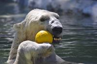 Polar Bear At Play