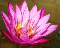 Passionate Pink Water Lily