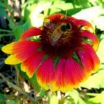 """""""Bee on an Orange Dazzler Blanket Flower"""" by soulenergy"""