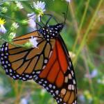 """""""Blue Ridge Butterfly"""" by soulenergy"""