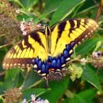 """""""Butterfly Bush III"""" by soulenergy"""