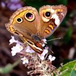 """""""Butterfly Bush II"""" by soulenergy"""