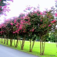 Crape Myrtle at Mt. Gur