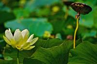 The Life of a Lotus Blossom