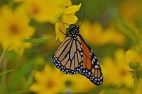 Monarch Framed in Yellow