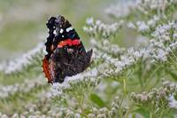 Red Admiral underwing view