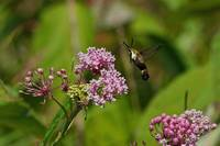 Snowberry Clearwing Moth on Swamp Milkweed