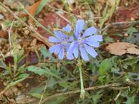 Chicory(Coreopsis intybus)
