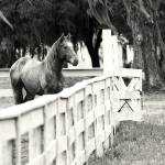 """The Horse Fence"" by Hansen"