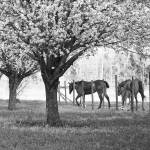 """The Dogwoods of Spring"" by Hansen"