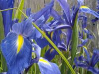 Dutch Iris Blue