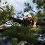 """Bald Eagle"" by ZachPrimozic"