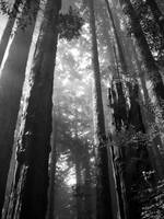 Redwoods in OR